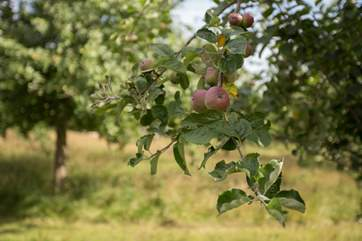 In the late summer and autumn the orchard bears fruit and you will see all the apples!