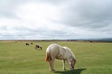 Dartmoor ponies wander freely and are a national treasure!