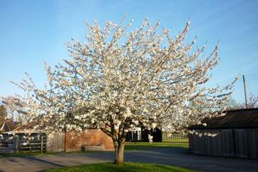 One of the namesake cherry trees gives a suitable welcome to Cherry May Farm in the spring.