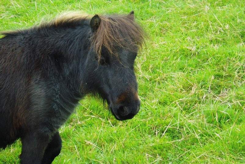 This is one of the little Shetland ponies who have come to live here!