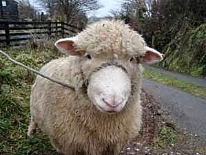 Another woolly member of Largin Farm.