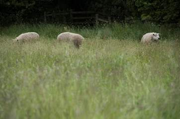 The sheep sometimes graze in the meadow below Rivendell.
