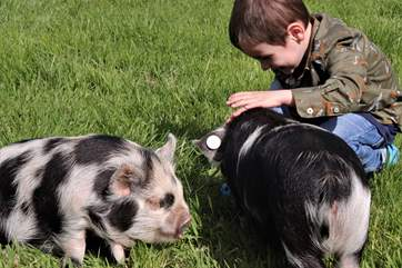 Rhubarb and Raspberry, the gorgeous Kune Kune pigs, will delight all