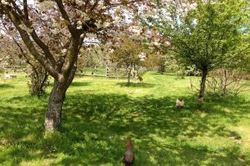 The delightful orchard area with the Owners friendly free-range chickens.