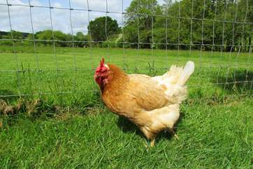 Children are welcome to visit the friendly chickens. Here is Mauvey who loves to have a cuddle!