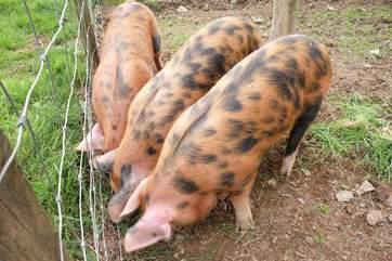 Three little piggies....