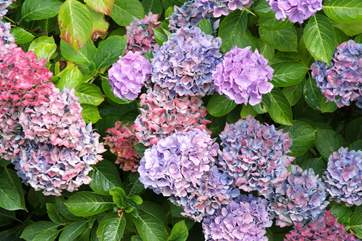 Colourful hydrangeas line the driveway.