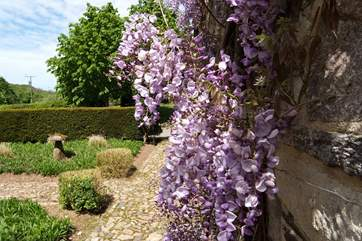 Wisteria in May is gorgeous.