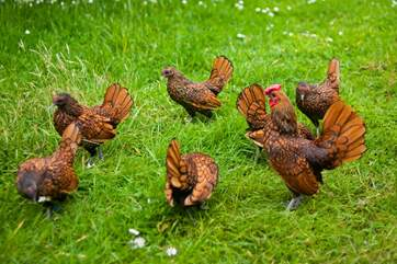 The Owners have a fantastic collection of poultry.