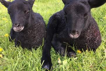 These delightful little lambs were born on the farm spring 2017.