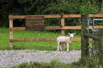Where's the shepherd?