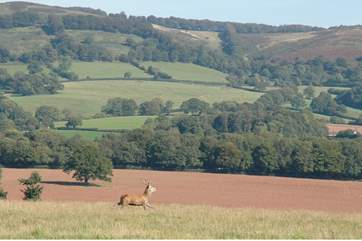 You will see wild deer in their natural habitat - the hills in the background are the setting for Bashford Lodge.