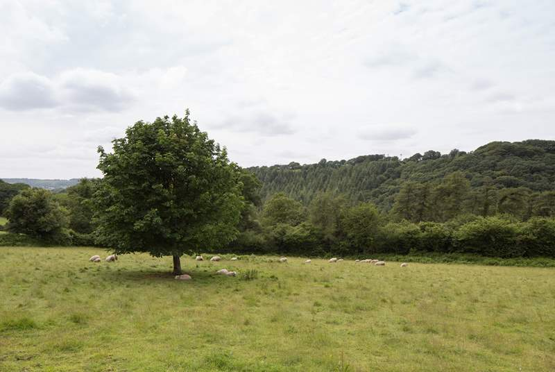 The owners' white faced sheep shelter under the trees in their meadow