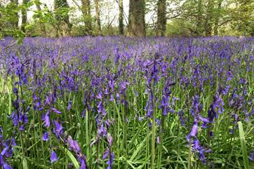 The pretty bluebells at nearby Godolphin House and woods.