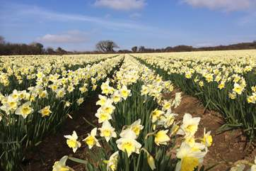 Daffodils flower early in the fields at Trescowe.