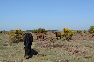 New Forest ponies, cattle and pigs roam freely within New Forest National Park, about a one hour drive from Hindon.