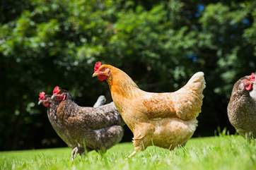 The friendly chickens roam freely.