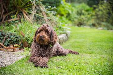 Pippin, the Owner's friendly Labradoodle, enjoys everyone's company!