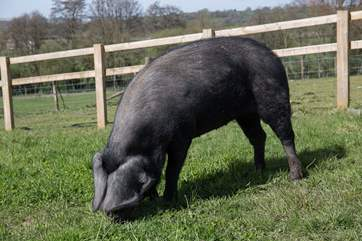 This is Beauty a Great Black pig, she has inspired the name of the retreat.