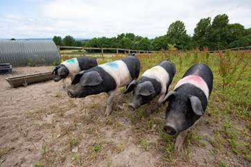 Some friendly pigs, to fit in with the theme of this wonderful glamping site.