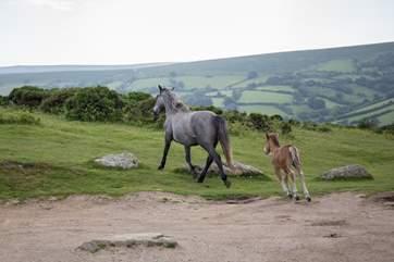 The Dartmoor ponies roam freely across the moors