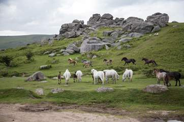 Watching the Dartmoor ponies roam freely and happily is a real joy. They are not shy, and will certainly put on a display for you.