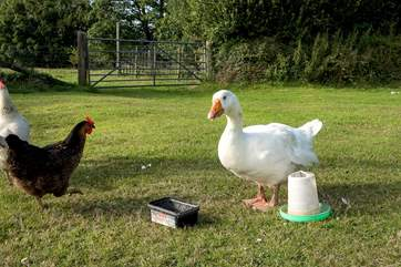 With chickens, ducks and geese also on hand to add to the enjoyment.