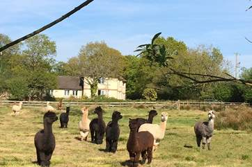 Your neighbours are very nosy yet very friendly. Please ensure that dogs are kept on leads when walking the grounds, especially when walking passed the alpacas.