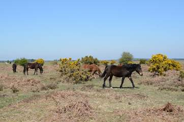 Ponies, cattle, sheep and pigs roam freely throughout The New Forest National Park.