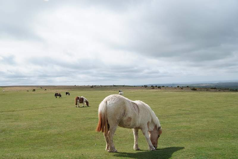 Will you spot any Dartmoor ponies out and about on your adventures?