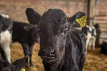 At calving time you can come and meet the new arrivals!