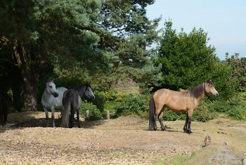 New Forest National Park, has free roaming ponies, cattle and pigs, with miles of footpaths and cycle tracks through ancient woodland.