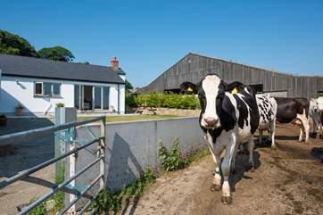 The cows pass by on their way to the milking parlour.