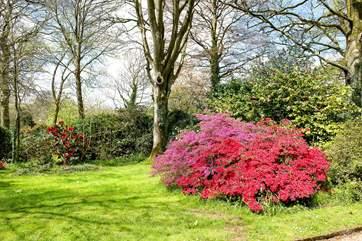 Azaleas in the lower garden.